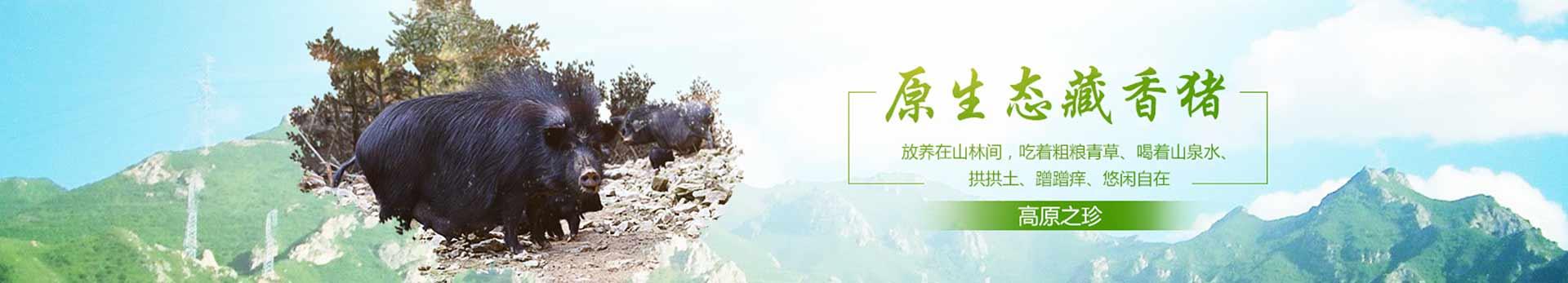 西藏藏香猪爱吃什么菜草